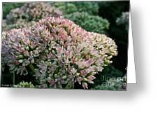 Stonecrop Greeting Card