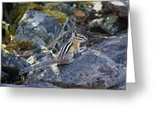 Straight Tailed Chipmunk On A Rock Greeting Card