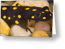 Strauchs Spotted Newt Greeting Card