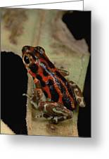 Strawberry Poison Dart Frog Dendrobates Greeting Card