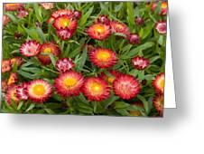Strawflower Helichrysum Sp Red Variety Greeting Card