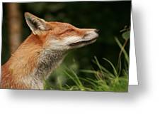 Stretching Fox Greeting Card by Jacqui Collett