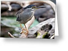 Striated Heron Greeting Card by Fabrizio Troiani