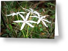 String Lily Greeting Card