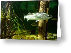 Striped Bass In Aquarium Tank On Cape Cod Greeting Card