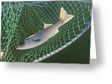 Striped Bass In Net.  The Fish Greeting Card