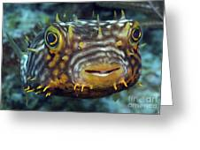Striped Burrfish On Caribbean Reef Greeting Card