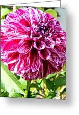 Striped Dahlia Greeting Card