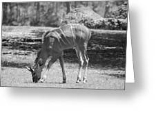 Striped Deer In Black And White Greeting Card