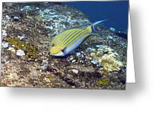 Striped Surgeonfish Greeting Card by Georgette Douwma