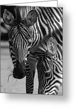 Stripes - Zebra Greeting Card