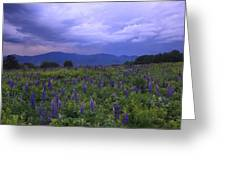 Sugar Hill Lupines Thunderstorm Clearing Greeting Card