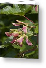 Sugar Maple Acer Saccharum Seed Pods Greeting Card