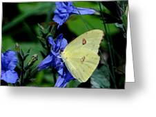 Sulphur Butterfly On Wildflower Greeting Card