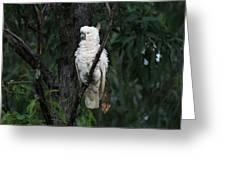 Sulphur Crested Cockatoo  Greeting Card