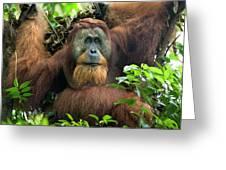 Sumatran Orangutan Pongo Abelii Greeting Card