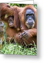 Sumatran Orangutans Greeting Card