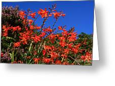 Montbretia, Summer Wildflowers Greeting Card