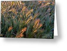 Sun Kissed Grass Greeting Card