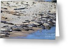 Sunbathing Elephant Seals Along A Beach At Point Reyes California . 7d16065 Greeting Card