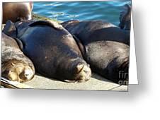 Sunbathing Sea Lions Greeting Card
