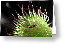 Sundew Eating A Fly Greeting Card