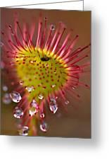 Sundew With Digested Food, British Greeting Card