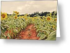 Sunfllower Farm Greeting Card