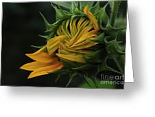 Sunflower 2012 Greeting Card