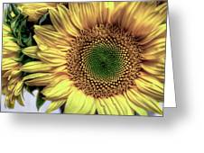 Sunflower 28 Greeting Card