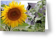 Sunflower And Barn Greeting Card
