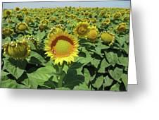 Sunflower And Honeybees July Two K O Nine  II Greeting Card