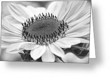 Sunflower Bloom Black And White Greeting Card