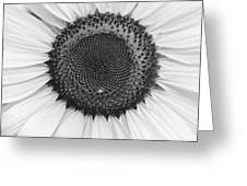 Sunflower Center Black And White Greeting Card