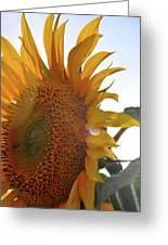 Sunflower Closeup Greeting Card