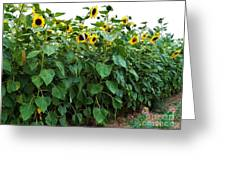 Sunflower Fields Forever   Four Greeting Card