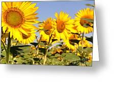 Sunflowering Greeting Card