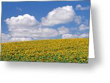 Sunflowers, Austin, Manitoba Greeting Card