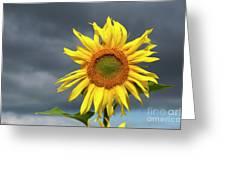 Sunflowers Helianthus Annuus Greeting Card