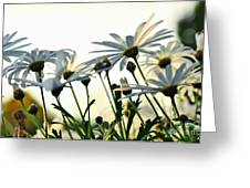 Sunlight Behind The Daisies Greeting Card