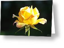 Sunlight On Yellow Rose Greeting Card