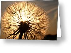 Sunlit Goatsbeard Seed Pod In Scenic Saskatchewan Greeting Card