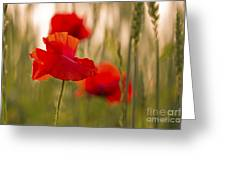 Sunset Poppies. Greeting Card