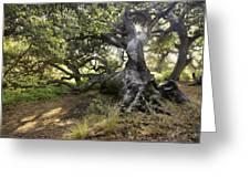 Sunstar Oak Greeting Card