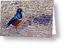 Superb Starling Greeting Card