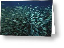 Surgeonfish  Slice Through The Coral Greeting Card by Randy Olson