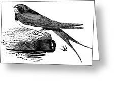Swallow, C1800 Greeting Card