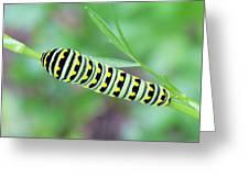 Swallowtail Caterpillar On Parsley Greeting Card