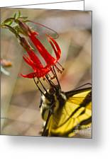 Swallowtail On Scarlet Gilia Greeting Card