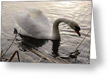 Swan Along The Shore Greeting Card